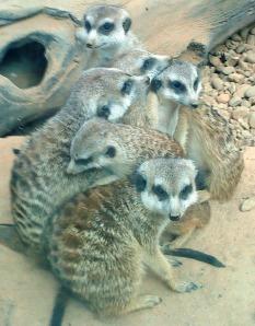 meerkat asli