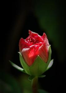 mawar kuncup